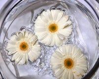 λευκό gerberas στοκ φωτογραφίες με δικαίωμα ελεύθερης χρήσης