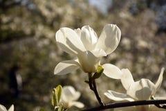 λευκό magnolia ανθών Στοκ Φωτογραφίες