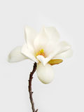λευκό magnolia λουλουδιών Στοκ Εικόνα