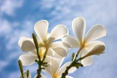 λευκό plumeria λουλουδιών Στοκ Εικόνα