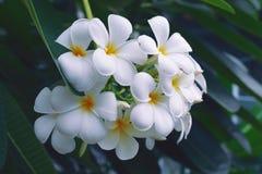 λευκό plumeria λουλουδιών Στοκ Εικόνες