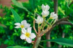 λευκό plumeria λουλουδιών Στοκ εικόνα με δικαίωμα ελεύθερης χρήσης