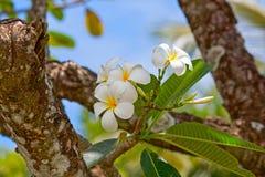 λευκό plumeria λουλουδιών Στοκ Φωτογραφίες