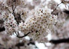 λευκό sakura Στοκ φωτογραφίες με δικαίωμα ελεύθερης χρήσης