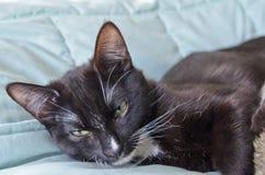 Ευμετάβλητη γάτα σμόκιν που βάζει στο κρεβάτι Στοκ Εικόνες