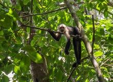Ευνοούμενος πίθηκος με φρούτα σε Corcovado Στοκ Εικόνες
