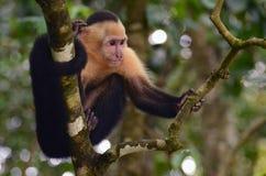 Ευνοούμενος Capuchin πίθηκος στοκ φωτογραφίες με δικαίωμα ελεύθερης χρήσης
