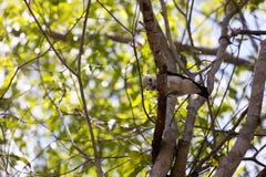 Ευνοούμενο Vanga, viridis Artamella, έχει έναν πιασμένο ράμφος σκώρο, επιφύλαξη Tsingy Ankarana, Μαδαγασκάρη Στοκ εικόνες με δικαίωμα ελεύθερης χρήσης
