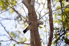 Ευνοούμενο Vanga, viridis Artamella, έχει έναν πιασμένο ράμφος σκώρο, επιφύλαξη Tsingy Ankarana, Μαδαγασκάρη Στοκ φωτογραφία με δικαίωμα ελεύθερης χρήσης
