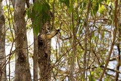 Ευνοούμενο Vanga, viridis Artamella, έχει έναν πιασμένο ράμφος σκώρο, επιφύλαξη Tsingy Ankarana, Μαδαγασκάρη Στοκ Εικόνα