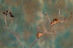 Ευρασιατικά ποντίκια συγκομιδών στοκ φωτογραφία