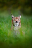 Ευρασιατικά λυγξ που κρύβονται στην πράσινη χλόη στην τσεχική δασική όμορφη μεγάλη άγρια γάτα στο δασικό βιότοπο φύσης Σκηνή άγρι Στοκ φωτογραφία με δικαίωμα ελεύθερης χρήσης