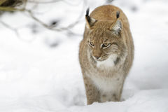 Ευρασιατικά λυγξ στο χειμερινό δάσος Στοκ φωτογραφία με δικαίωμα ελεύθερης χρήσης