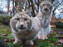 ευρασιατικά lynxes δύο Στοκ Εικόνες