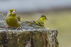 Ευρασιατικά Siskin & Greenfinch Στοκ Εικόνα