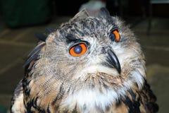 Ευρασιατική αετός-κουκουβάγια σε μια πέρκα στοκ φωτογραφία