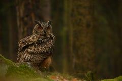 Ευρασιατική αετός-κουκουβάγια Στοκ Εικόνα