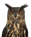 Ευρασιατική αετός-κουκουβάγια, Bubo bubo, 15 χρονών Στοκ φωτογραφίες με δικαίωμα ελεύθερης χρήσης