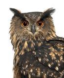Ευρασιατική αετός-κουκουβάγια, Bubo bubo, 15 χρονών Στοκ εικόνες με δικαίωμα ελεύθερης χρήσης