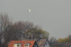 Ευρασιατική πλαταλέα Στοκ εικόνα με δικαίωμα ελεύθερης χρήσης