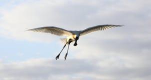 Ευρασιατική πλαταλέα Στοκ φωτογραφία με δικαίωμα ελεύθερης χρήσης