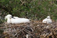 Ευρασιατική πλαταλέα - leucorodia Platalea Στοκ εικόνα με δικαίωμα ελεύθερης χρήσης