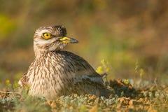 Ευρασιατική συνεδρίαση σιγλίγουρων πετρών στη φωλιά και εξέταση τη κάμερα Στοκ Φωτογραφία