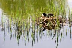 ευρασιατική φωλιά φαλαρίδων Στοκ εικόνα με δικαίωμα ελεύθερης χρήσης
