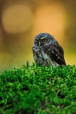 Ευρασιατική pygmy κουκουβάγια Στοκ εικόνα με δικαίωμα ελεύθερης χρήσης