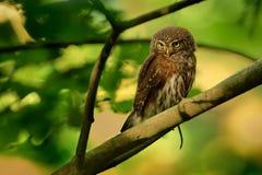 Ευρασιατική pygmy-κουκουβάγια στοκ φωτογραφία