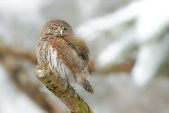 Ευρασιατική pygmy-κουκουβάγια Στοκ Εικόνες
