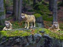 ευρασιατικοί λύκοι Στοκ Φωτογραφία