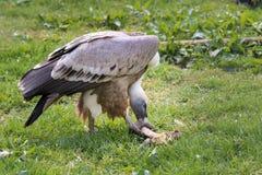 Ευρασιατικός γύπας griffon Στοκ Εικόνες