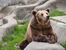 Ευρασιατικός καφετής αφορά τα arctos arctos Ursus το βράχο Στοκ εικόνες με δικαίωμα ελεύθερης χρήσης