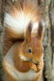 ευρασιατικός κόκκινος σκίουρος sciurus vulgaris Στοκ φωτογραφία με δικαίωμα ελεύθερης χρήσης