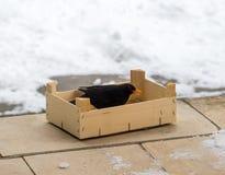 Ευρασιατικός κότσυφας που τρώει τα τρόφιμα, που χύνονται σε ένα ξύλινο κιβώτιο πουλιά που ταΐζουν το χ&epsilo Η αγάπη και προστατ Στοκ φωτογραφίες με δικαίωμα ελεύθερης χρήσης