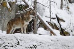 Ευρασιατικός λύκος στον άσπρο χειμερινό βιότοπο, όμορφο χειμερινό δάσος στοκ εικόνες