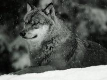 ευρασιατικός λύκος στοκ εικόνα με δικαίωμα ελεύθερης χρήσης