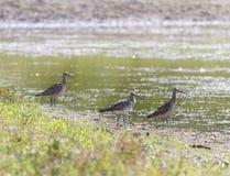 Ευρασιατικός σιγλίγουρος, arquata numenius, πουλιά, Ελβετία Στοκ Εικόνες