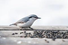 Ευρασιατικός τσοπανάκος Στοκ φωτογραφία με δικαίωμα ελεύθερης χρήσης