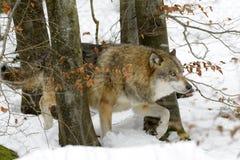 Ευρασιατικός λύκος Στοκ Φωτογραφία