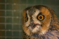 Ευρασιατικό αετός-κουκουβάγια ή bubo Bubo στο κλουβί στοκ εικόνα με δικαίωμα ελεύθερης χρήσης