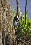 Ευρασιατικό κρύψιμο φαλαρίδων στον κάλαμο Στοκ Φωτογραφίες