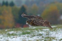 Ευρασιατικό κυνήγι μυγών μπούφων κατά τη διάρκεια του χειμώνα που περιβάλλεται με snowflakes Ευρασιατικό κυνήγι μυγών μπούφων κατ Στοκ εικόνα με δικαίωμα ελεύθερης χρήσης