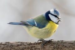 Ευρασιατικό μπλε tit που σκαρφαλώνει σε έναν κλάδο Στοκ Φωτογραφίες