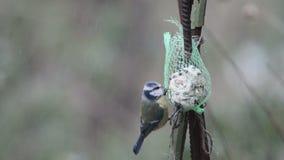Ευρασιατικό μπλε caeruleus Cyanistes tit στον τροφοδότη πουλιών το χειμώνα φιλμ μικρού μήκους