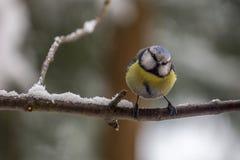 Ευρασιατικό μπλε Tit Στοκ εικόνα με δικαίωμα ελεύθερης χρήσης