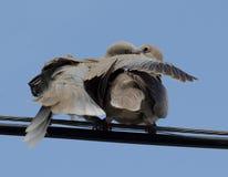 Ευρασιατικό πιαμένο περιστέρι Στοκ φωτογραφίες με δικαίωμα ελεύθερης χρήσης