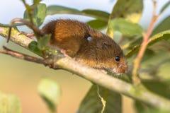 Ευρασιατικό ποντίκι συγκομιδών με τον κρότωνα στοκ φωτογραφίες