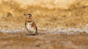 Ευρασιατικό πορφυρός-φτερωτό Finch Στοκ Φωτογραφία